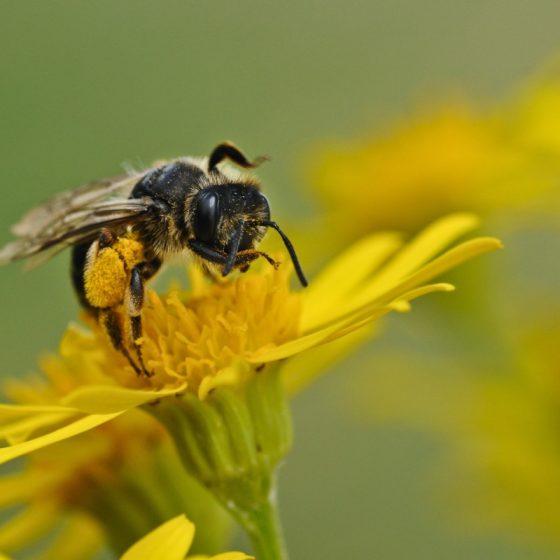 bee_insect_macro_forage-1375014.jpgd_-560x560.jpeg